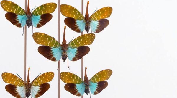 Hemiptera Fulgoridae Pyrops Intricata