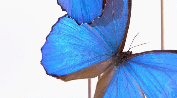 Nymphalidae Morpho Didius