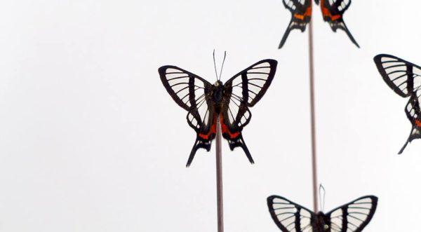 Riodinidae Chorinea Sylphina