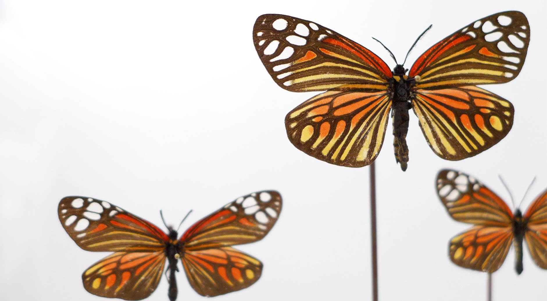 Lepidoptera Zygaenidae Campylotes Histrionicus