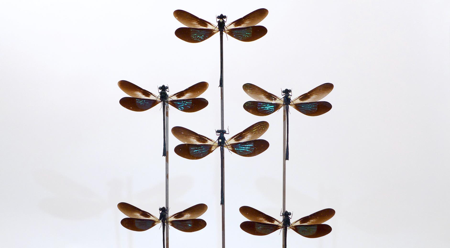 Odonota Euphaeidae Euphaea Variegata