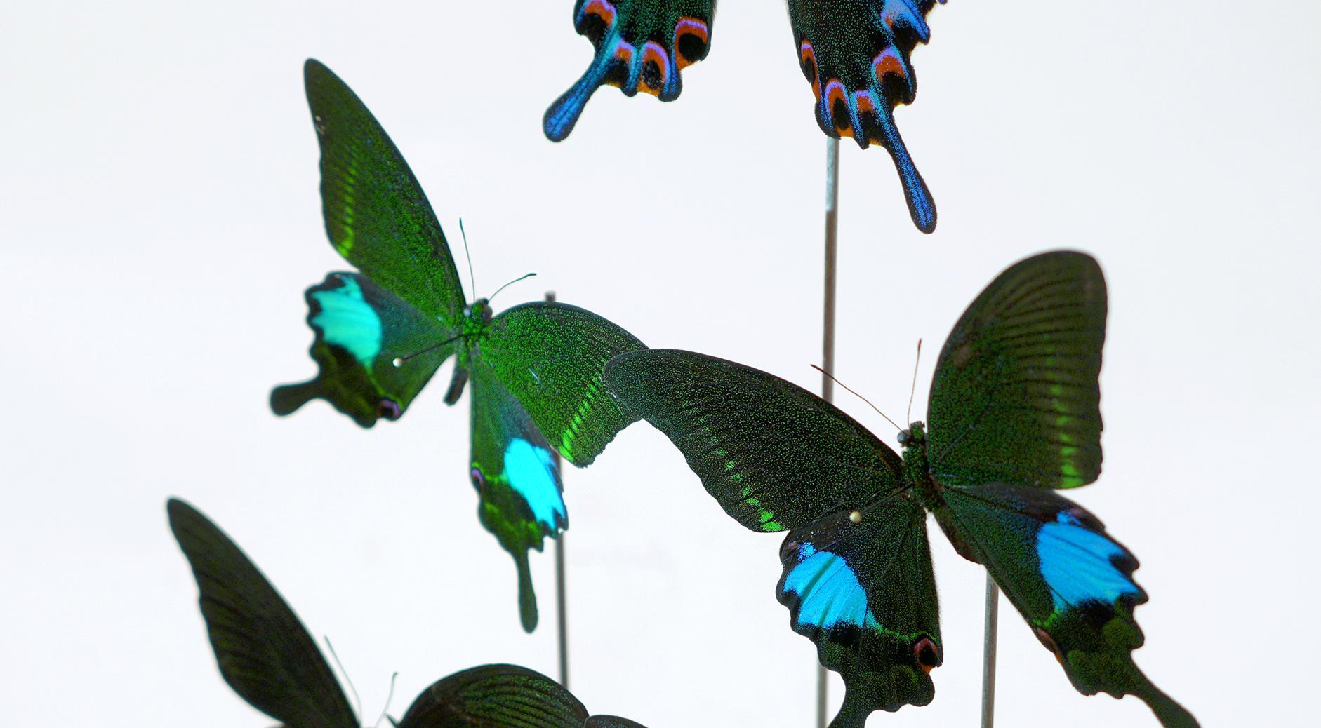Papilio Hermeli & Papilio Paris