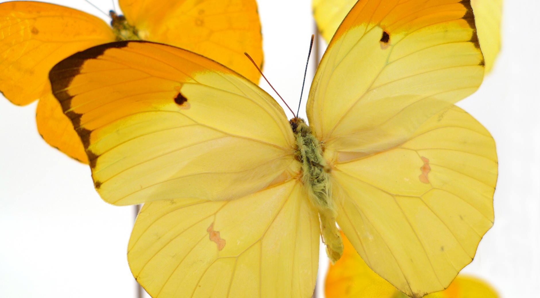 Pieridae Anteos Menippe