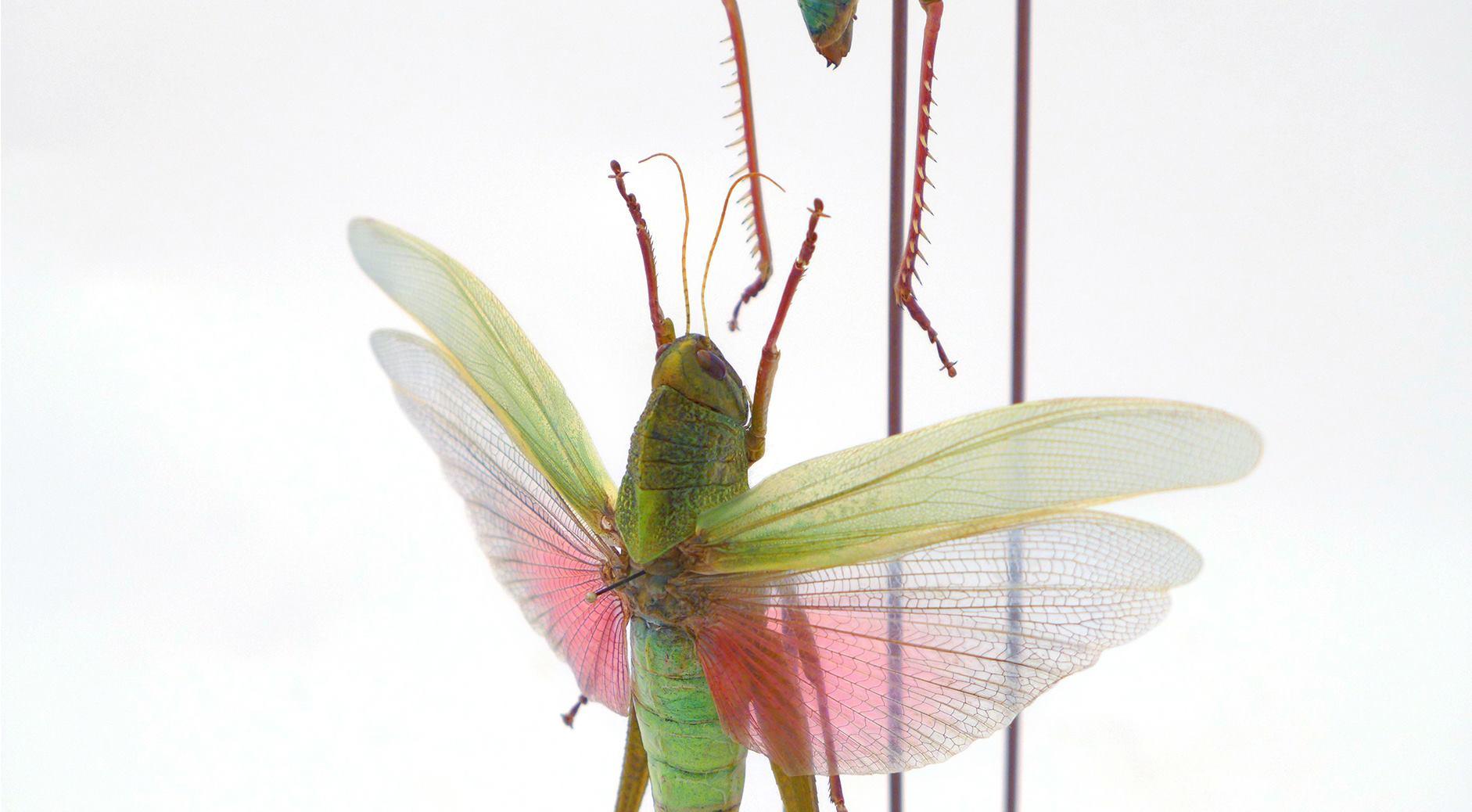 Orthoptera Acrididae Chondracris rosea