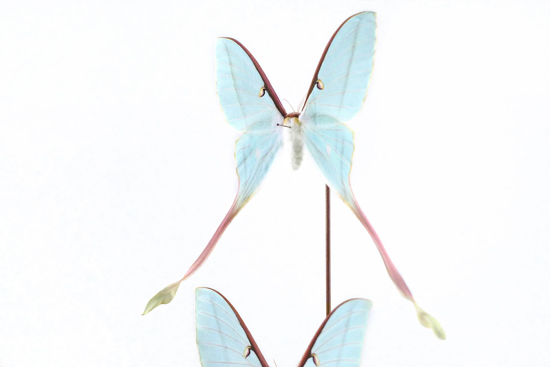 Actias dubernadi female