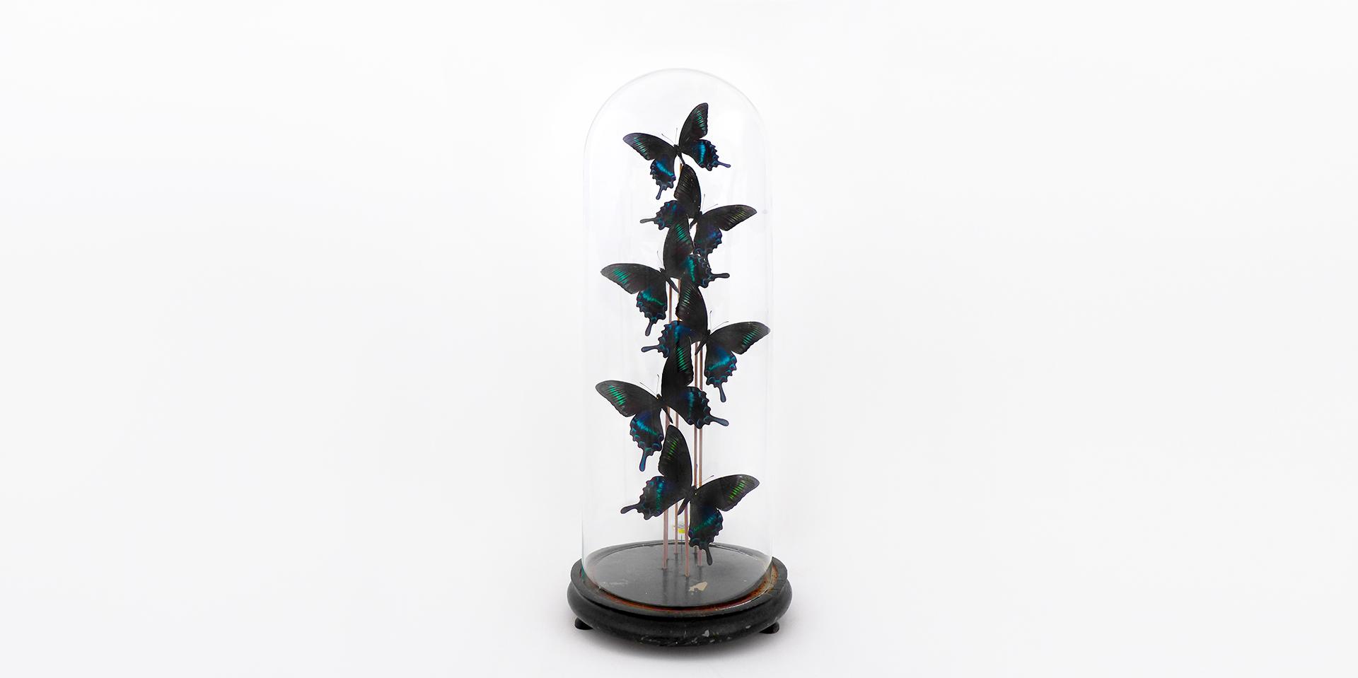 Papilio Maackii