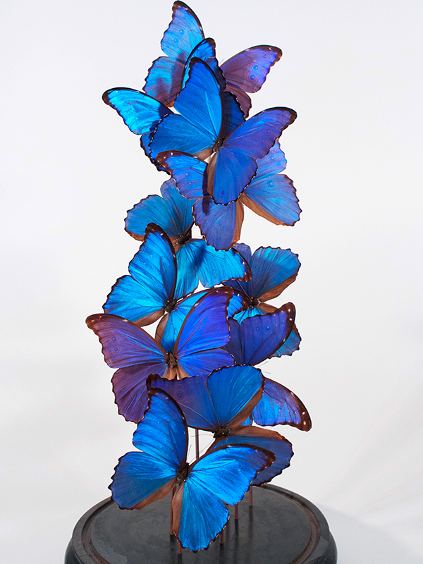 Morpho didius butterflies under glass dome