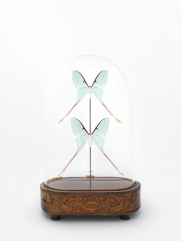 globe glass dome entomology butterflies Actias dubernadi