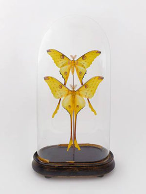 globe glass dome entomology butterflies Argema mittrei