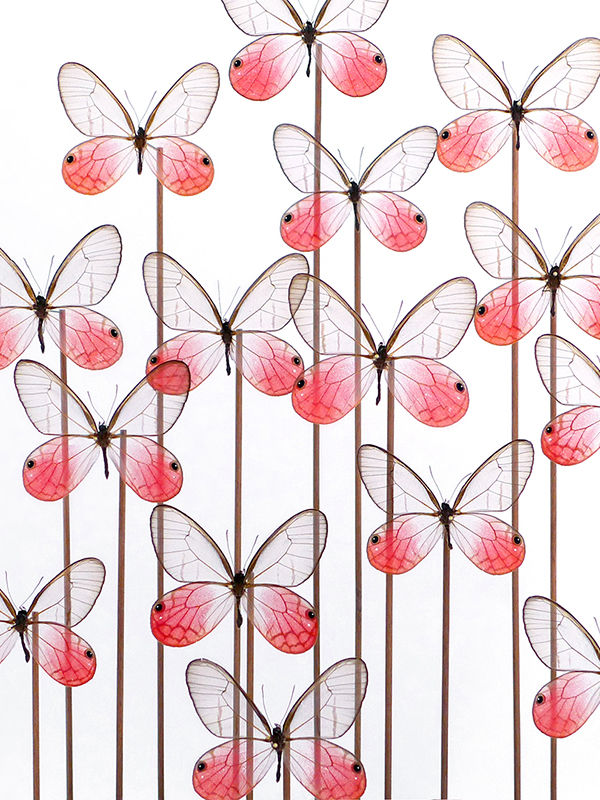 glass dome butterflies Cithaerias aurorina
