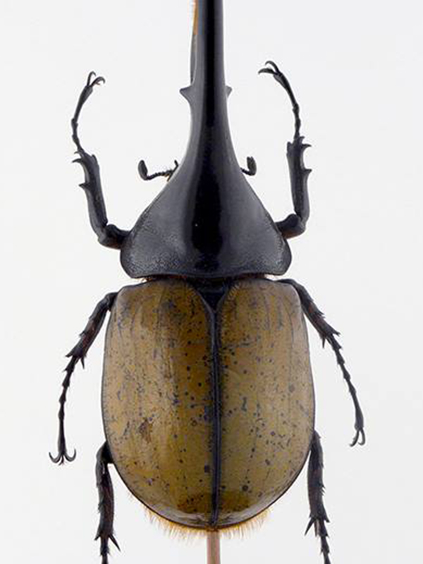 beetle glass dome Dynastes hercules lichyi