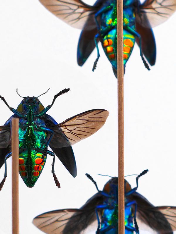 globe glass dome entomology beetle sumptuosa gemma