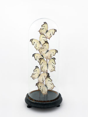 globe glass dome entomology butterflies Salamis parhassus