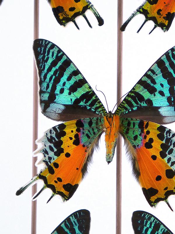 globe glass dome entomology butterflies Urania rhipheus