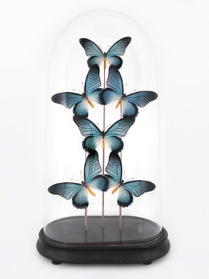 globe glass dome entomology butterflies Zalmoxis