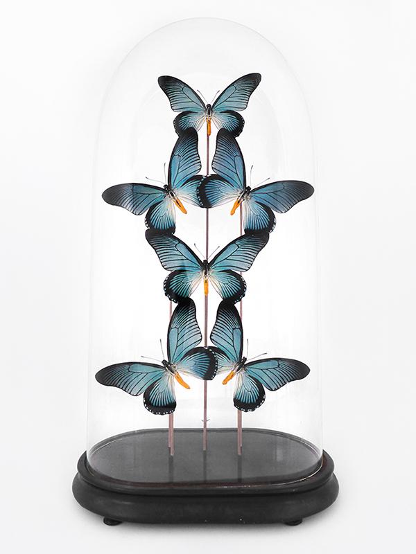 globe glass dome entomology butterflies Zalmoxis