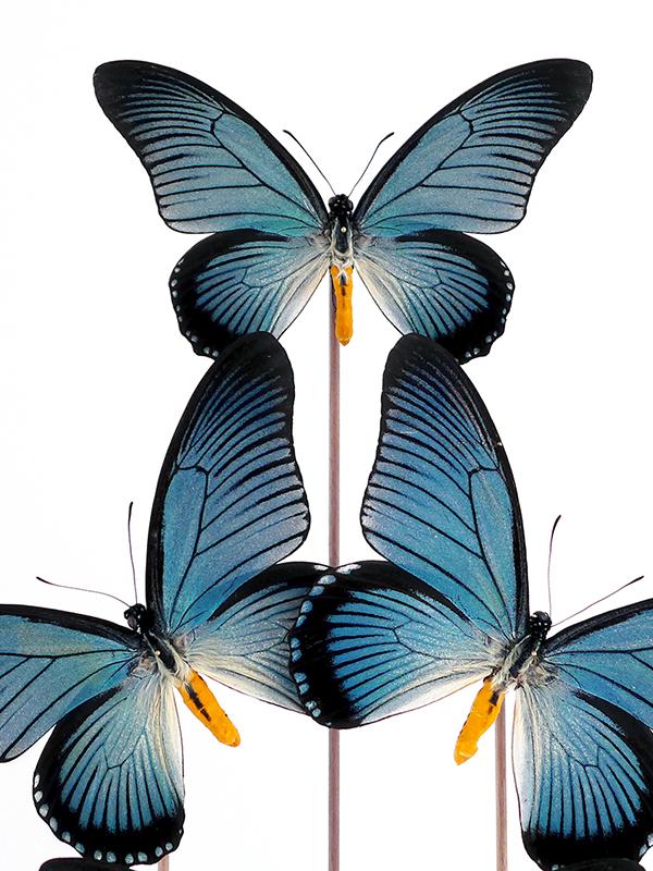 Zalmoxis glass dome butterflies entomology