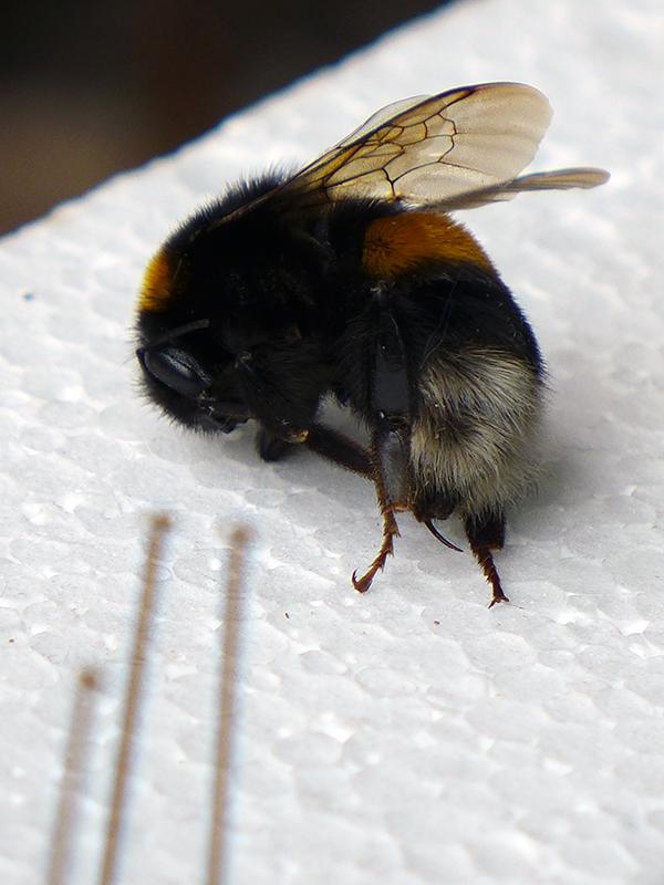 entomology bumblebee wunderkamer